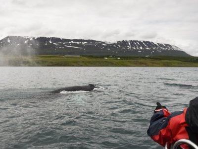 Express-Walbeobachtung ab Akureyri