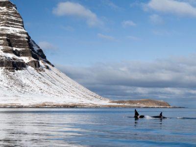 Schwertwale in Grundarfjörður