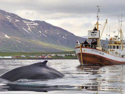 Walbeobachtung ab Hauganes