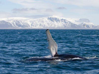 Winter Walbeobachtung ab reykjavik